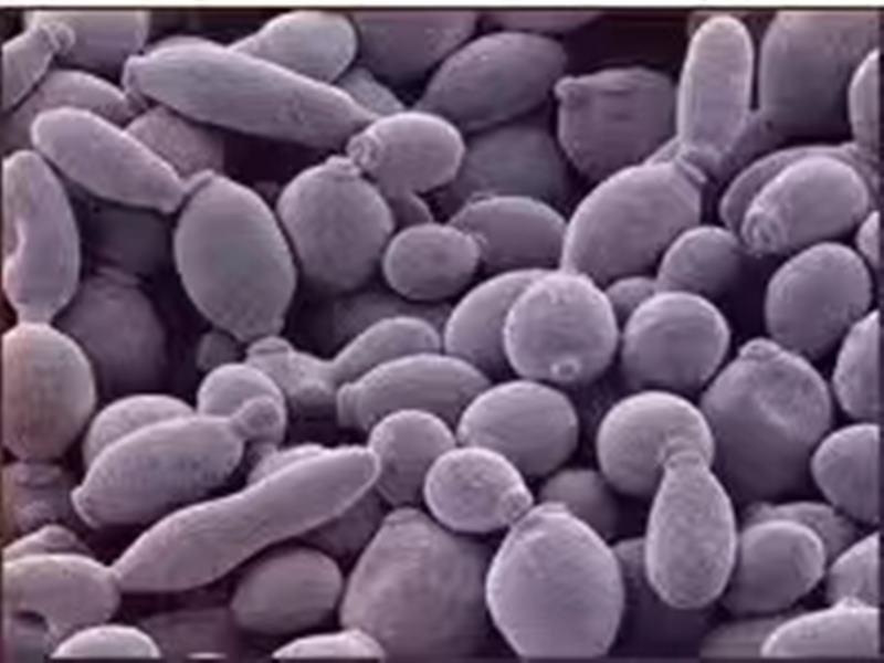 活酵母发展历史