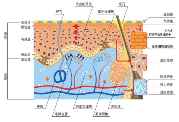 皮肤里的胶原蛋白